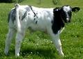 Tubridy the Calf