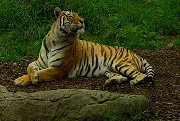 Dublin Zoo - Girl stable after tiger attack