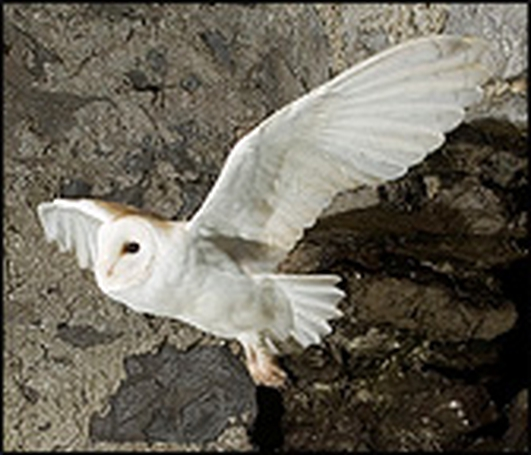 Rodenticides & Barn Owls