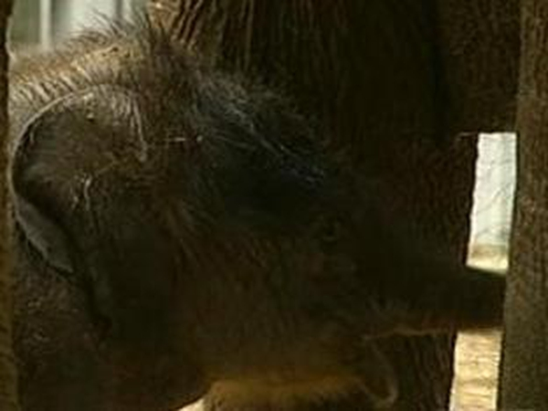 Ireland's newest arrival - This baby elephant is presumed to be the country's heaviest newborn