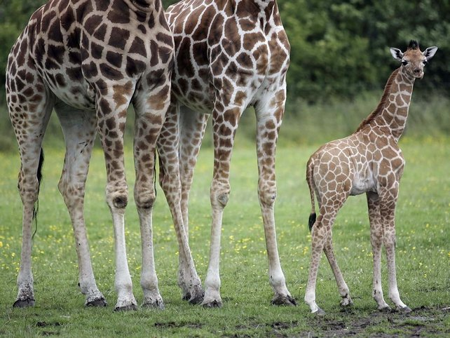 Baby Giraffe - Dublin Zoo will hold a contest to name its newest arrival