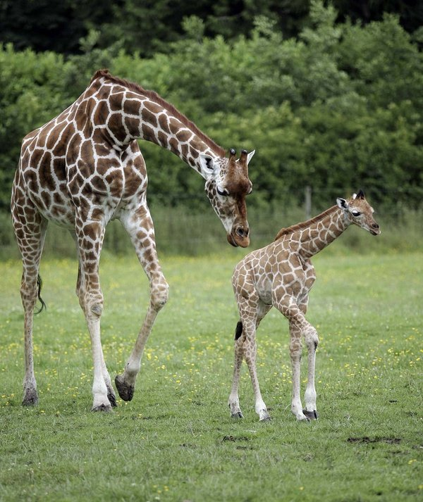 Baby giraffe calf - Latest addition will join last year's baby (pictured)