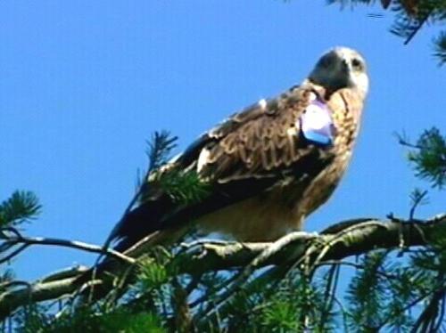 Red Kites - Three found poisoned