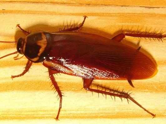 Do Cockroaches Bury Their Dead?