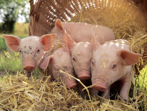 'Stand By Your Ham' - UK pork producers hope their new song becomes an internet sensation and brings home the bacon