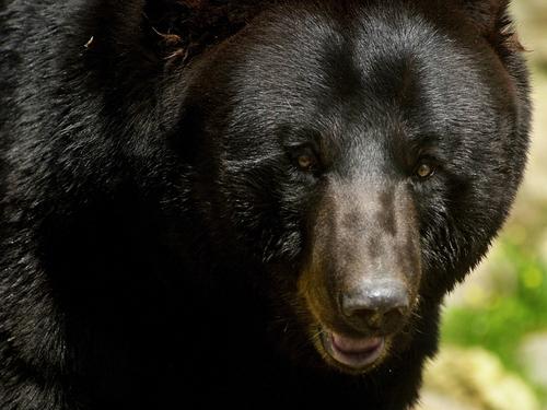 Bears - Fond of honey