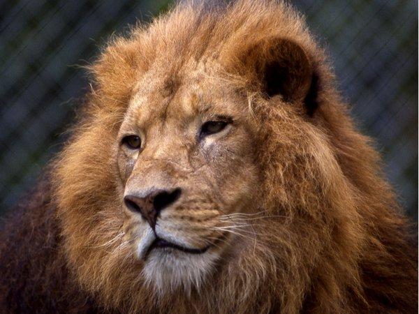 Lion on the loose? - Police searching after animal sighted