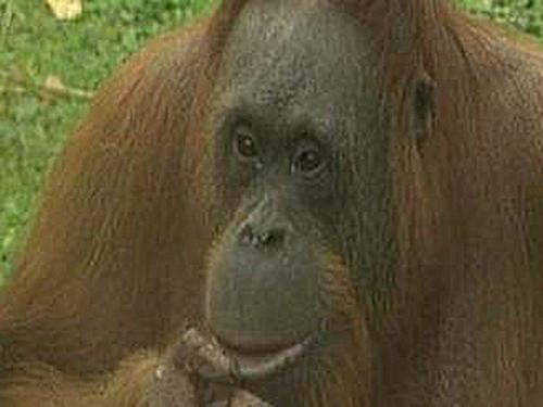 Maggie - Orang-utan tried to escape