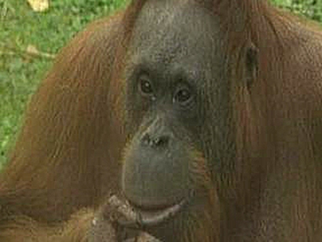 Maggie - Orang-utan tried to escape