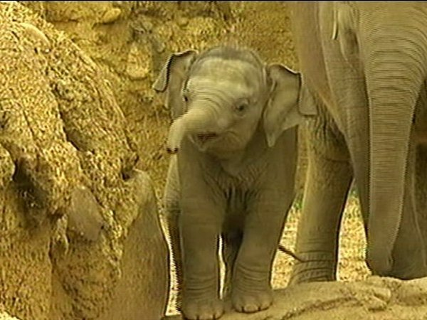 Meet Budi - This 'little' 260kg boy is the newest addition to Dublin Zoo's five elephant herd