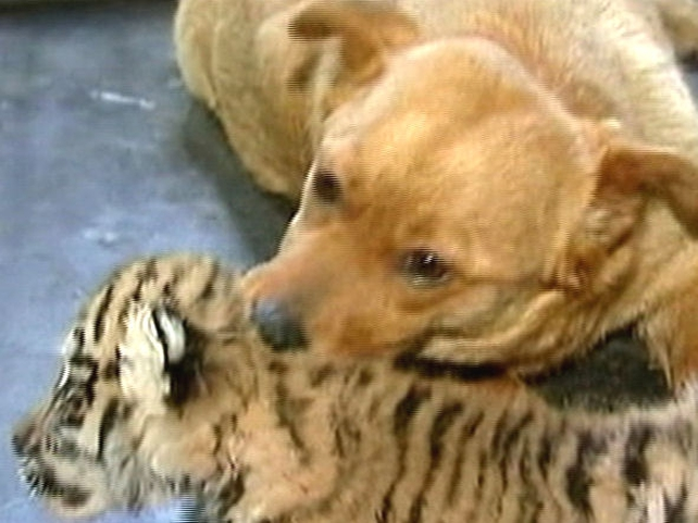 May and Juchka - Tiger gets dog mother