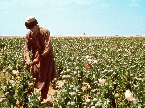Opium - 20 out of 34 provinces are now poppy free