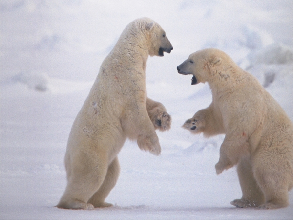 Polar bears are one species which could disappear in the wild due to climate change
