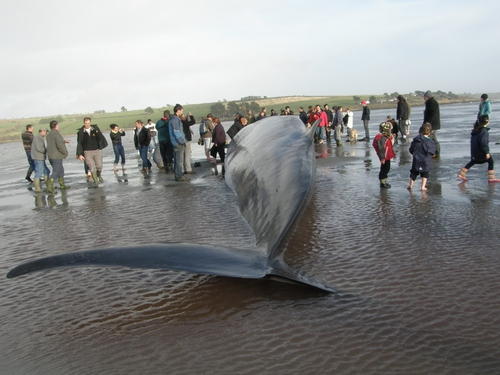 Courtmacsherry - Beached whale dies - (Pic: Zoe Turner & Steven O Driscoll)