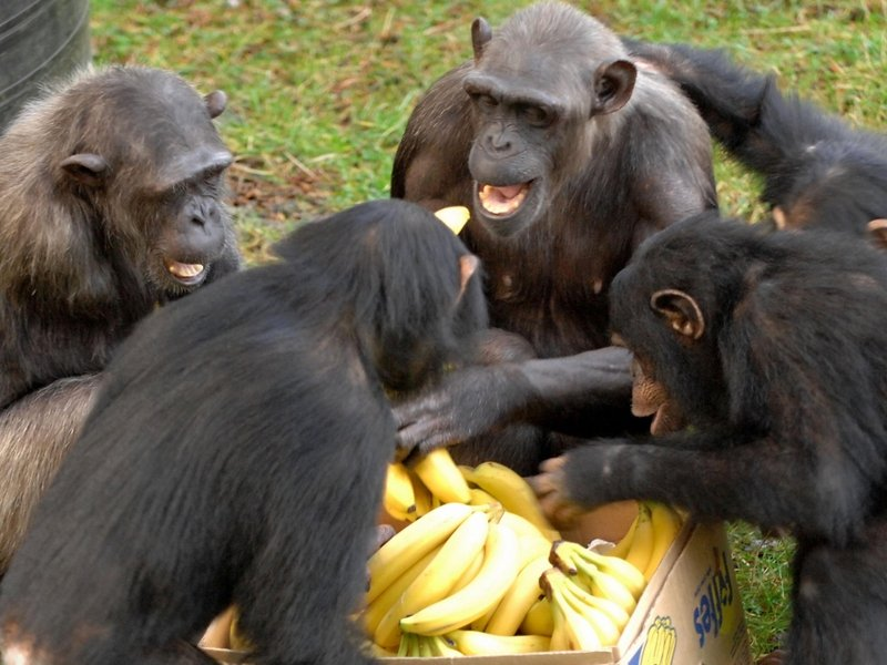 Image result for apes and bananas