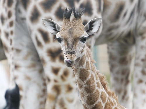 Neema - The seventh member of Dublin Zoo's giraffe herd