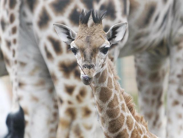 Neema - The seventh member of Dublin Zoo's giraffe herd