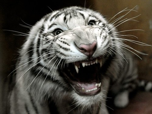 White Tiger - Attacked keepers at wildlife park
