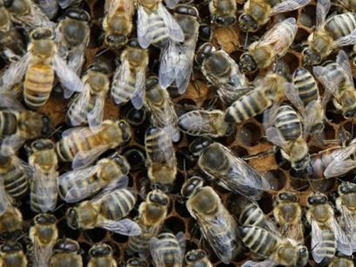 Bees - Can provide a source of income