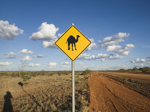 Camels - More than one million roam central Australia