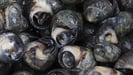 Steamed Periwinkles with Wild Garlic