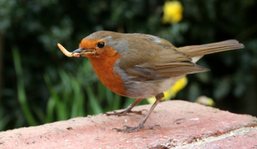 Why Robins Sing In Winter