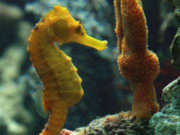 Brazilian Seahorse