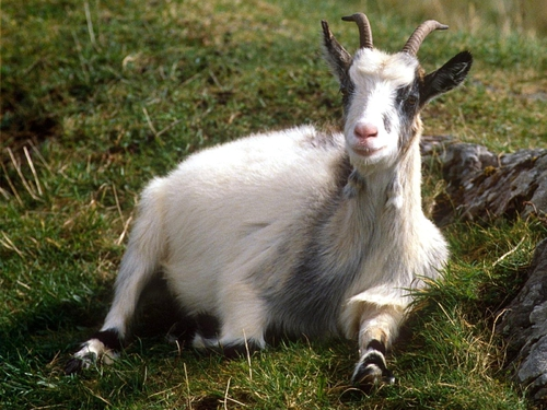 There are now more than one billion domestic goats in the world