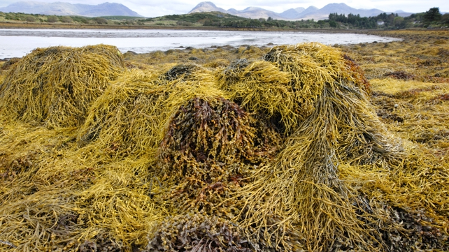 Arramara Teoranta purchased seaweed from around 300 local harvesters and sold it globally