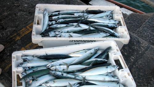 Mackerel are migrating northwards as European seas grow warmer