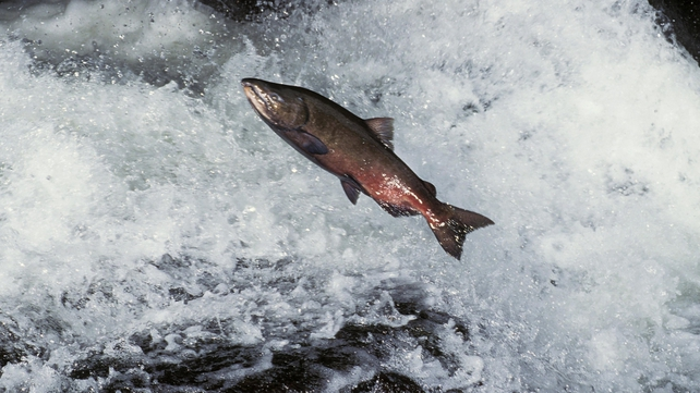 BIM is seeking a licence to develop a salmon farm in Galway Bay