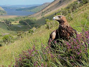 Golden Eagle Glenveagh