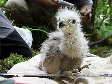 Red Kite Chick