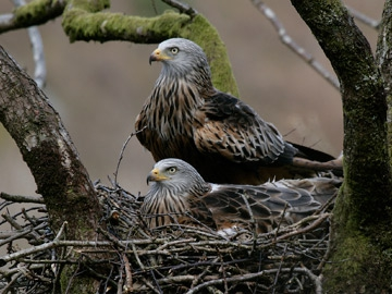 Red Kites on Nest