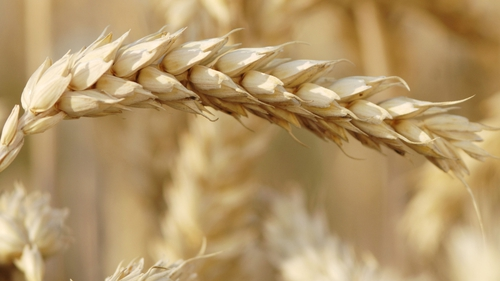 Wheat output is projected to fall by 30% from the 2015 harvest to 29.1m tonnes