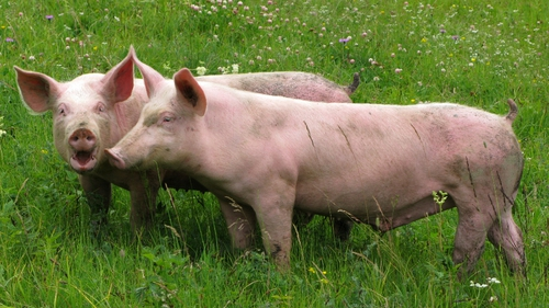 Pigs - Producers losing up to €1m a week