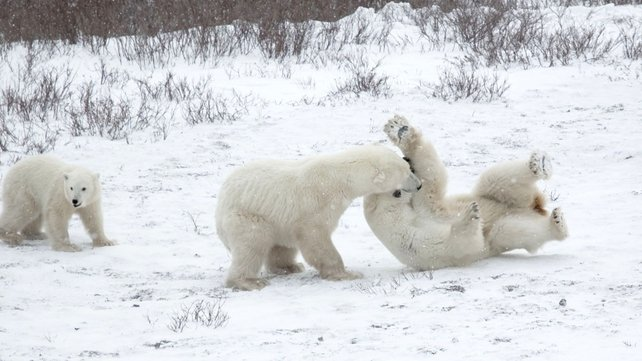 The team found that polar bears have existed for around 400,000-600,000 years