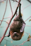 Using Bats To Understand The Sense Of Smell