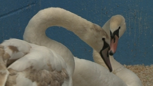 The public is advised to contact the National Parks and Wildlife Service if they come across ill swans