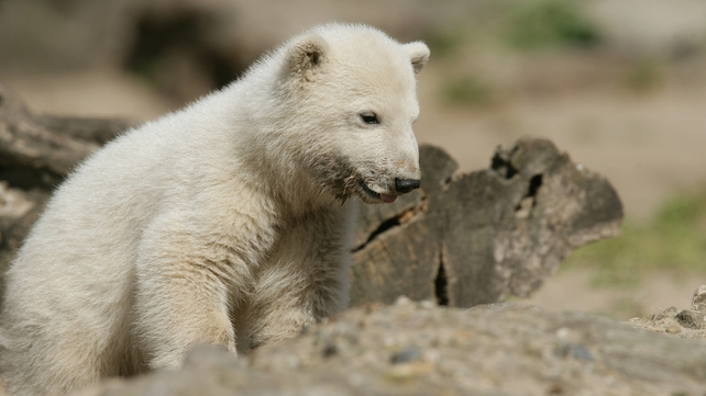 Knut - Cub was rejected at birth by mother and reared by zoo keeper