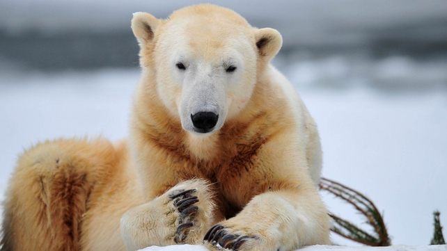 Knut - Life expectancy in captivity could have been over 20 years