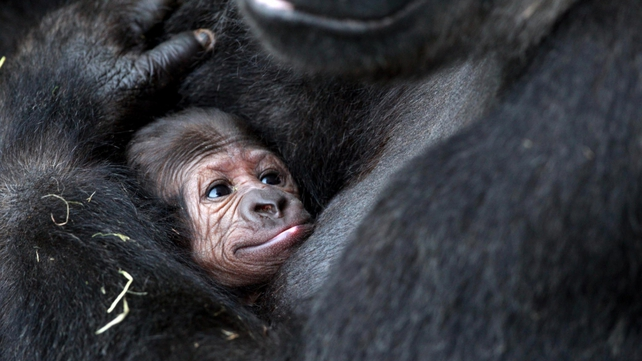 The baby gorilla has yet to be named