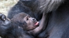Baby gorilla born on Sunday Photos: Conor Healy