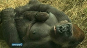 Six One News: Dublin Zoo gorilla keeps newborn close to chest