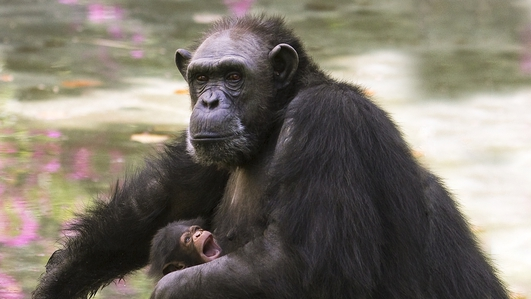 Ebola In Africa Wiping Out Chimps, & Animal Testing