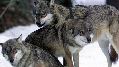From fairytale villain to a shepherd's worst nightmare, the wolf has always had a bad press