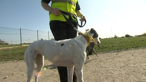 The Greyhound Rescue Association of Ireland says the dogs make ideal family pets