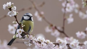 Branching out: will climate change mean the end of the line for the Blue Tit?