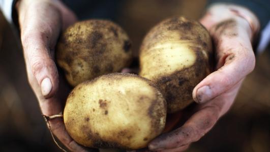 Field trials of GM potatoes in Carlow