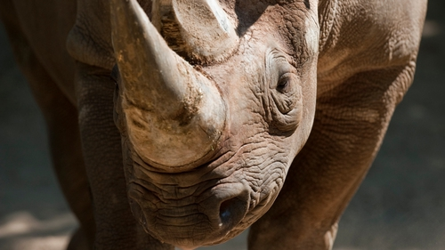 All species of rhinoceros are protected under US and international law